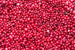 Red Frozen Cranberries Stock Photography