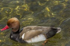 Closeup of a red crested Pochard swimming in clear water. Picture from Lake Garda Italy Stock Image