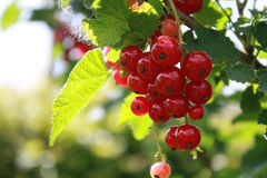 Closeup of red currants. In a garden with green background Stock Image