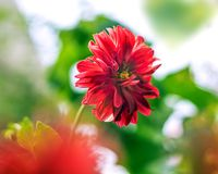 Closeup of Red Dahlia Flower on blurry background royalty free stock photos