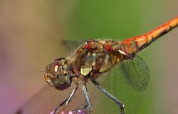 Closeup of a red darter dragonfly royalty free stock images