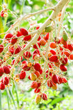Closeup of red dates hanging Royalty Free Stock Images