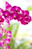 Closeup of red dendrobium orchid Royalty Free Stock Photo