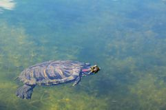 Closeup of a Red-eared Slider Royalty Free Stock Photography