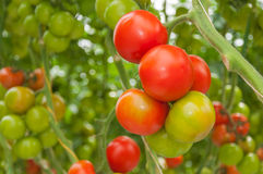 Closeup of red en green vine tomatoes Stock Photo
