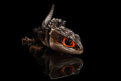 Closeup Red-eyed crocodile skink, tribolonotus gracilis, isolated on Black Royalty Free Stock Photography