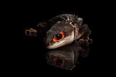 Closeup Red-eyed crocodile skink, tribolonotus gracilis, isolated on Black Stock Photography
