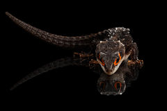 Closeup Red-eyed crocodile skink, tribolonotus gracilis, isolated on Black Royalty Free Stock Photos