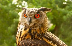 Closeup of Red eyed great horned owl Staring straight ahead. With blurred trees in background Stock Images