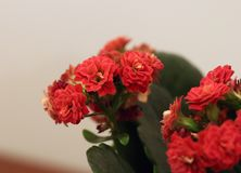 Closeup of Red Flaming Katy Kalanchoe Blossfeldiana Flowers stock image