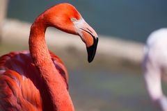 Closeup of a red flamingo with blurry background Stock Images