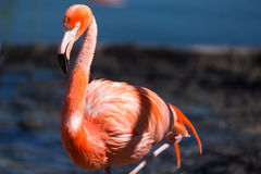 Closeup of a red flamingo with blurry background Royalty Free Stock Photography