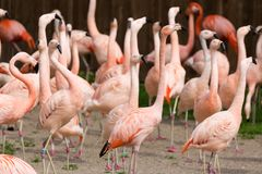 Closeup of a red flamingo group with blurry background. Many flamingo birds at the zoo Royalty Free Stock Photos