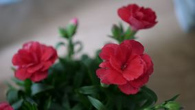 Closeup red flower with blurry background 2. Beautiful red flower with natural light Stock Photo