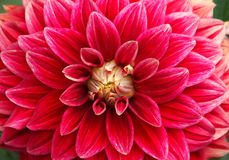 Closeup of red flower Royalty Free Stock Image