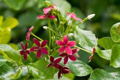 Closeup Red Flower Of Chinese Honeysuckle, Rangoon Creeper Growing In Asia Royalty Free Stock Photos