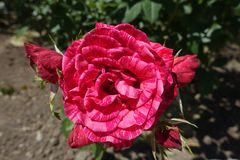 Closeup of red flower of striped rose cultivar. Close up of red flower of striped rose cultivar stock image