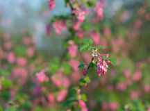 Closeup of a red flowering currant bush Stock Photography