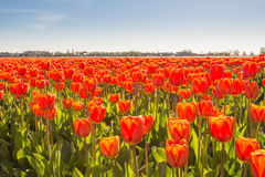 Closeup of red flowering tulip bulbs Stock Photos