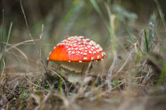 Closeup red flyagaric mushroom Stock Photos