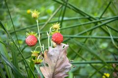 Closeup of red Fragaria Or Wild Strawberry in summer forest. royalty free stock photography