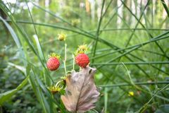 Closeup of red Fragaria Or Wild Strawberry in summer forest. stock image