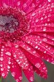 Closeup of a red Gerbera Daisy. Stock Photo