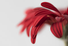 Closeup of red gerbera flower petals on white background Royalty Free Stock Photos