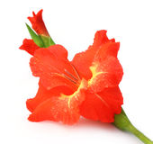 Closeup of red gladiolus Stock Photos