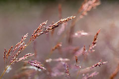 Closeup of red grass seed heads royalty free stock images