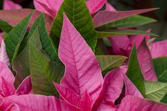 Closeup Red and green poinsettia leaves. Beautiful red and green poinsettia leaves. The traditional Christmas plant royalty free stock images