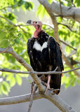 Closeup of Red headed vulture Royalty Free Stock Photos
