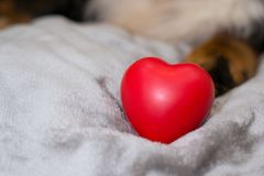 Closeup red heart on beige rug on blurred dog background. Happy valentine`s day and international women`s day. Concept of stock photography