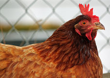 Closeup of a Red Hen Stock Photography