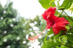 Closeup red hibiscus blooming flower in garden. Freshness feelin. G with rain drop. Bokeh background Stock Image