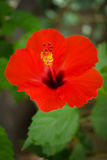 Closeup of red hibiscus Royalty Free Stock Photo