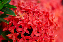 Closeup of a red Ixora. This is a macro-to-blur picture of red Ixora Royalty Free Stock Photo
