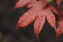 Closeup of a Red Japanese Maple Leaf. With Water Drops royalty free stock images