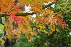 Closeup of red japanese maple leaves on the graden. Closeup of beautiful autumn leaves, red maple leaf in Japan Selective Focus royalty free stock photo