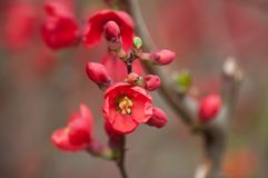 Red japanese quince tree of Chaenomeles in public garden. Closeup of red japanese quince tree  of Chaenomeles in public garden stock photos