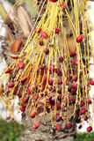 Closeup of red kimri dates Stock Image