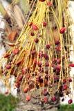 Closeup of red kimri dates Stock Image