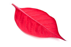 Closeup of red leaf Stock Image