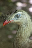 Closeup of a Red-legged seriema or crested cariama Cariama cristata. The red-legged seriema or crested cariama Cariama cristata is a mostly predatory terrestrial Stock Image