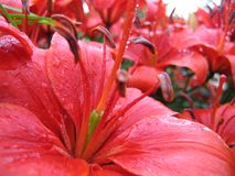 Closeup of red lily with raindrops Royalty Free Stock Images