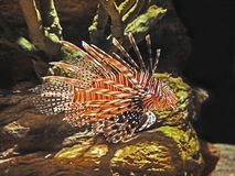 Red Lionfish or Pterois Volitans Isolated on Nature Background. Closeup Red Lionfish or Pterois Volitans Isolated on Nature Background Stock Images