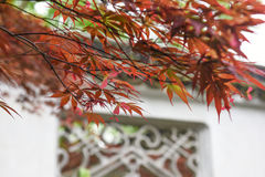 Closeup of red maple and blurred traditional architecture Stock Images