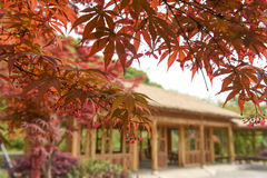Closeup of red maple and blurred traditional architecture Stock Photo