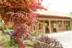 Closeup of red maple and blurred traditional architecture Stock Photos
