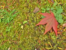 Closeup of red maple leaf on forest floor. royalty free stock images